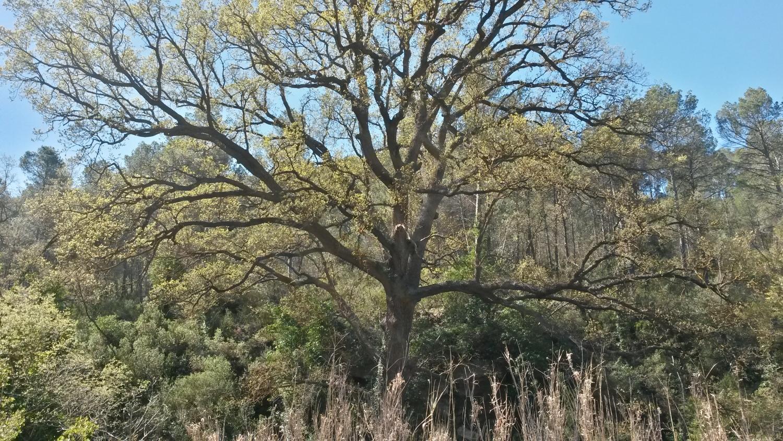 Quejigo (Quercus faginea) monumental