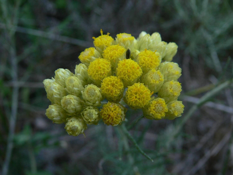 Helichrysum_stoechas